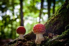 Красивый гриб с красными и белыми точками, пластинчатым грибом мухы стоковое фото rf