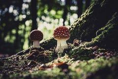 Красивый гриб с красными и белыми точками, пластинчатым грибом мухы стоковые фотографии rf