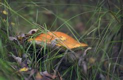Красивый гриб porcini растя в лесе стоковые изображения rf
