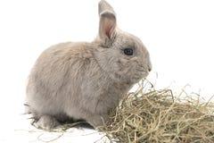 Красивый декоративный серый цвет кролика при сено изолированное на белой предпосылке Стоковые Изображения RF