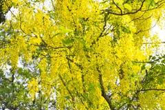 Красивый дерева золотого ливня или фистулы кассии дерева золотого дождя Стоковое Изображение