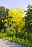 Красивый дерева золотого ливня или фистулы кассии дерева золотого дождя Стоковые Изображения RF