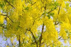 Красивый дерева золотого ливня или фистулы кассии дерева золотого дождя Стоковая Фотография RF