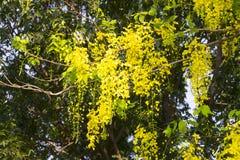 Красивый дерева золотого ливня или фистулы кассии дерева золотого дождя Стоковые Фото