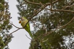 Красивый длиннохвостый попугай на ветви еды дерева стоковое фото rf