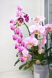 Красивый домашний букет орхидеи Таиланда в интерьере Селективный мягкий фокус Орхидеи на окне Живой тропический пинк Стоковые Фотографии RF