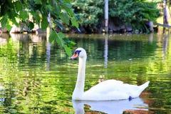 Красивый лебедь в парке Бостон США Стоковые Фото