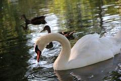 Красивый лебедь в парке Бостон США Стоковое Изображение RF