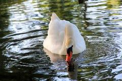 Красивый лебедь в парке Бостон США Стоковые Изображения