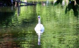 Красивый лебедь в парке Бостон США Стоковое Изображение