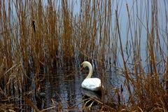 Красивый лебедь в природе Стоковые Фотографии RF