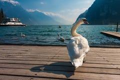 Красивый лебедь и озеро Стоковые Фото