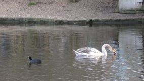 Красивый лебедь плавая на озеро акции видеоматериалы