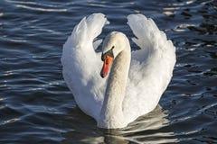 Красивый лебедь Стоковые Фотографии RF