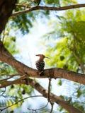 Красивый евроазиатский удод (epops upupa) сидя в дереве Стоковая Фотография RF