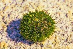 Красивый еж моря много ядовитых игл Стоковые Изображения RF