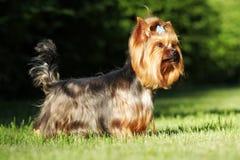 Красивый декоративный йоркширский терьер собаки стоя в posi выставки Стоковая Фотография RF