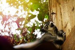Красивый лемур в зоопарке closeup Стоковые Фотографии RF