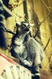 Красивый лемур в зоопарке closeup Стоковая Фотография