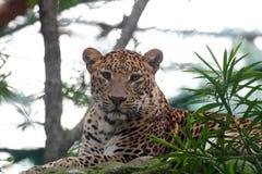 Красивый леопард большой кошки отдыхая в национальном парке живой природы Стоковая Фотография RF