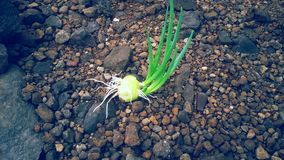 Красивый естественно, который выросли лук Стоковые Изображения RF