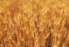Красивый естественный сельский ландшафт с полем золотых ушей пшеницы созретых на день теплого лета солнечный стоковые изображения rf