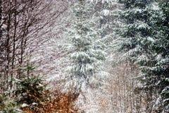 Красивый лес зимы пока суматоха снега Стоковая Фотография RF
