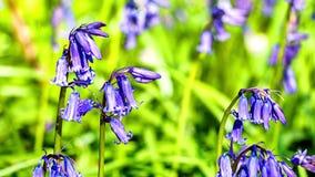 Красивый лес 4K bluebells весной акции видеоматериалы