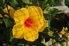 Красивый желтый гибискус в саде стоковые фото