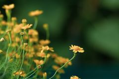 Красивый желтый зацветать цветков маргаритки стоковая фотография rf