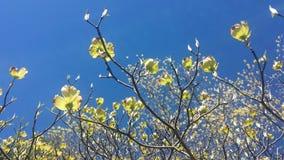 Красивый желтый кизил разветвляет с цветками в закоптелых горах Северной Каролины стоковые фотографии rf