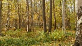 Красивый желтый лес осени сток-видео