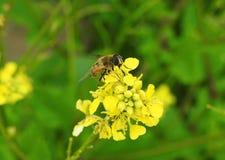 Красивый желтый полевой цветок с мухой в луге, Литве Стоковая Фотография RF