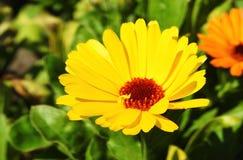 Красивый желтый цветок, Литва Стоковая Фотография RF
