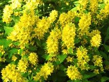 Красивый желтый цветок, Литва Стоковое фото RF