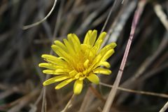 Красивый желтый цветок осени снял максимум в Kozhuh Стоковое Изображение