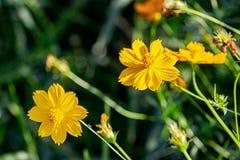 Красивый желтый цветок цветения с предпосылкой зеленых лист расплывчатой стоковое изображение rf