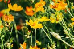 Красивый желтый цветок цветения с расплывчатой предпосылкой стоковые фотографии rf