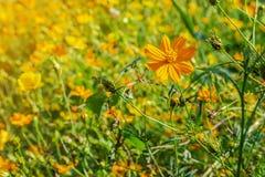 Красивый желтый цветок цветения стоковая фотография