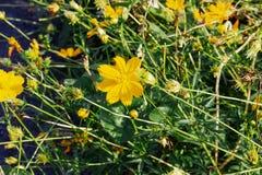 Красивый желтый цветок цветения стоковые изображения rf