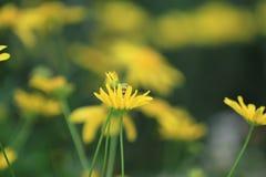 красивый желтый цветок, dasiy стоковое фото