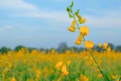 Красивый желтый цветок sunhemp в предпосылке природы Crotalaria стоковая фотография rf