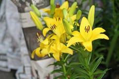Красивый желтый lilly цветок стоковые фото