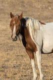 Красивый жеребец дикой лошади в пустыне Стоковые Изображения RF