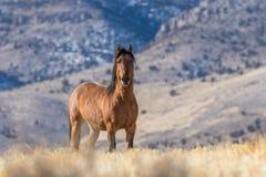 Красивый жеребец дикой лошади в Юте Стоковое Изображение RF