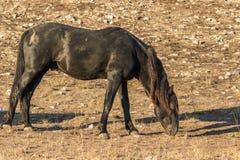 Красивый жеребец дикой лошади пася Стоковое фото RF