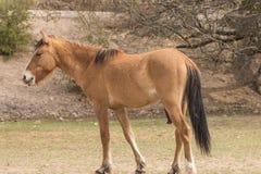 Красивый жеребец дикой лошади Стоковые Фотографии RF
