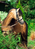 Красивый жеребец пони welsh Стоковые Фотографии RF