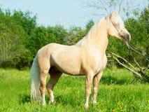 Красивый жеребец пони welsh palomino Стоковые Фотографии RF