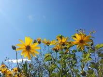 Красивый желтый артишок Иерусалима цветет и голубое небо Стоковые Изображения RF